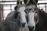 Curious Donkeys Print by Lorri Crossno