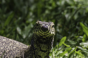 Goanna Photos - Curious Goanna by Peter Lombard