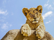 Wild Animal Photo Posters - Curious Lion Cub Poster by Diane Diederich