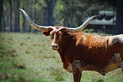 Long Horn Cow Photos - Curious Longhorn by Michael Rushing