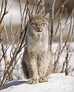 Lynx Photos - Curious Lynx by Tim Grams
