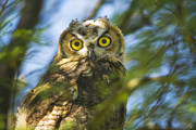 Owlet Photos - Curious by Peter Coskun