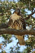 Redtail Hawk Art - Curious Redtail by Donna Blackhall