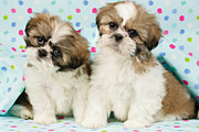Shih Tzu Posters - Curious Twins Poster by Greg Cuddiford
