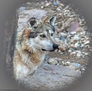 Mexican Grey Wolf Mixed Media Acrylic Prints - Curious Wolf Acrylic Print by Elaine Malott