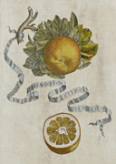 Fruit Still Life Posters - Curled leaf orange Poster by Cornelis Bloemaert