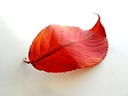 Phil Paynter - Curly Red Leaf