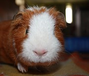Curly The Guinea Pig Print by Victoria Roehrig
