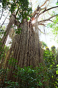 Outdoor Canopy Posters - Curtain Fig Tree  Poster by Dirk Ercken