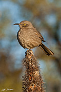 Jeff Goulden - Curve-Billed Thrasher on...