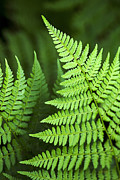 Ostrich Fern Posters - Curved Fern Leaf Art Poster by Christina Rollo