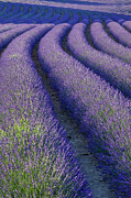 Provence Photos - Curved Rows by Brian Jannsen