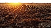 Scott Pellegrin - Cut Bean Field