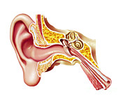 Hearing Digital Art Prints - Cutaway Diagram Of Human Ear Print by Leonello Calvetti