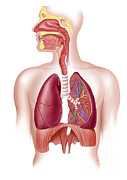 Human Body Parts Posters - Cutaway Diagram Of Human Respiratory Poster by Leonello Calvetti