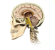 Human Brain Art - Cutaway View Of Human Skull Showing by Leonello Calvetti