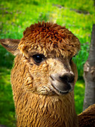 Scarves Posters - Cute Alpaca Poster by Robert Bales