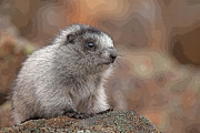 Hoary Prints - Cute and Shy Marmot- Abstract Print by Tim Grams