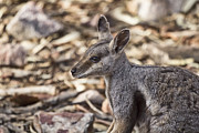 Wallaby Photos - Cute As... by Douglas Barnard