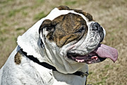 Susan Leggett Prints - Cute Bulldog Print by Susan Leggett