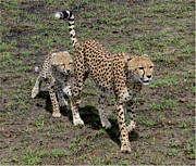 East Africa Prints - Cute Cheetah Wait for Me Mommy Print by Tom Wurl