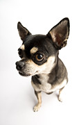 Tiny Dogs Prints - Cute Chihuahua Print by CValle