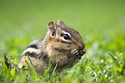 Chip Munk Framed Prints - Cute Chipmunk Framed Print by Christina Rollo