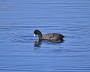 Chordata Prints - Cute Coot Print by Al Powell Photography USA