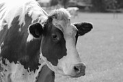 Carol Groenen Framed Prints - Cute Cow - Black and White Framed Print by Carol Groenen