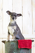 Pet Photo Prints - Cute Dog Washtub Print by Edward Fielding