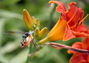Blue Darner Dragonfly Posters - Cute Dragonfly on Orange Lilies Poster by Carol Groenen