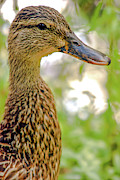 Duck Dynasty Framed Prints - Cute Female Duck Framed Print by Optical Playground By MP Ray