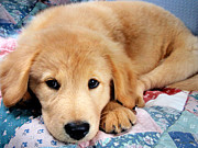 Friendly Puppy Posters - Cute Golden Retriever Puppy Laying Down Poster by Christina Rollo