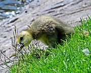 Lilroseann Photography Prints - Cute Gosling Eating Grass Print by LilRoseann Photography