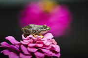 Amphibians Digital Art Metal Prints - Cute Green Frog On Pretty Pink Flower Metal Print by Christina Rollo