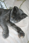 Tracey Harrington-Simpson - Cute Grey Kitten Relaxing