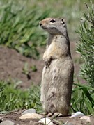 Dan Sproul - Cute Ground Squirrel