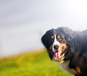 Bernese Photos - Cute happy dog portait. Bernese mountain dog by Michal Bednarek