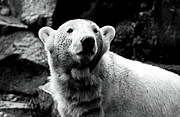 Animal Pics Posters - Cute Knut Poster by John Rizzuto