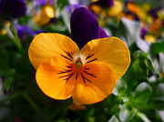 Jo Ann - Cute little viola
