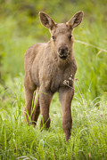 Alces Alces Posters - Cute Moose Calf Poster by Tim Grams