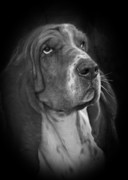 Domestic Metal Prints - Cute Overload - The Basset Hound Metal Print by Christine Till