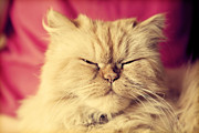 Relaxed Prints - Cute Persian cat looking relaxed Print by Michal Bednarek