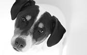 Cute Pose Jack Russell Terrier Print by Natalie Kinnear