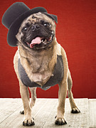 Sad Art Framed Prints - Cute Pug dog in vest and top hat Framed Print by Edward Fielding