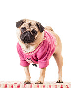 Dressed Photo Framed Prints - Cute Pug wearing sweater Framed Print by Edward Fielding