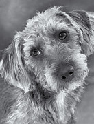 Long-haired Framed Prints - Cute Pup in Black and White Framed Print by Natalie Kinnear
