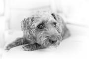 Cute Pup On Watch Print by Natalie Kinnear