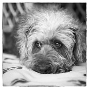 Dog Print Digital Art Framed Prints - Cute Scruffy Pup in Black and White Framed Print by Natalie Kinnear
