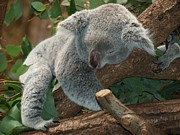 Koala Posters - Cute Sleeping Koala Bear Poster by Tilen Hrovatic